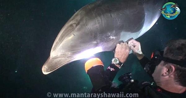 Milyen nagy egy delfinek pénisz
