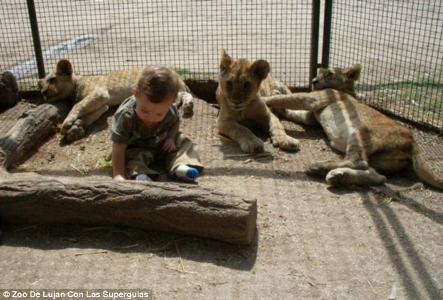 Egy kisgyermek az oroszlánok között.