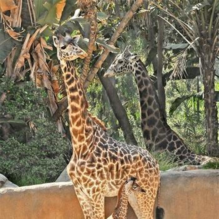 Baby-Giraffe-02