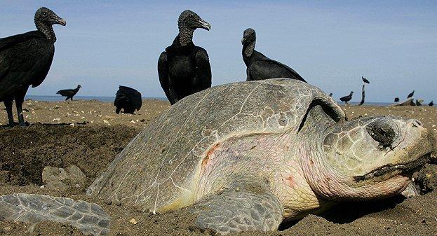 _62556000_costa_rica_turtle_g