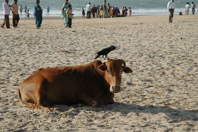 cow_crow_beach