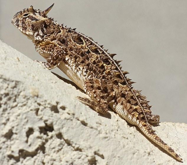 A Texas Horned Lizard Against a Stucco Wall