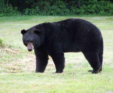 black-bear-returning