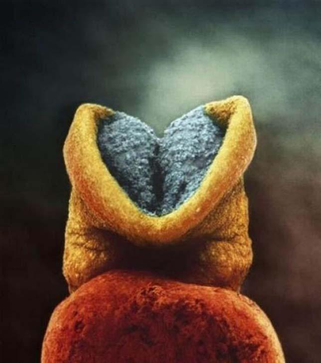 embrióagy