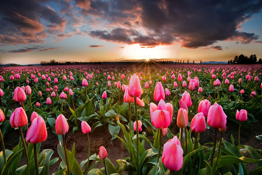 flower-tulip-fields-netherlands-9