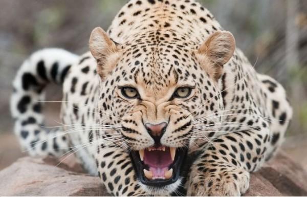 leopard-170590