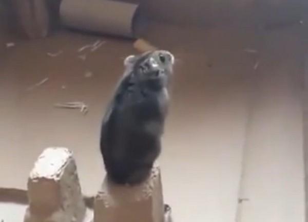Hörcsög cső videók