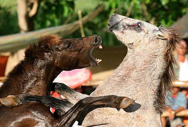 Resultado de imagen de peleas de caballos