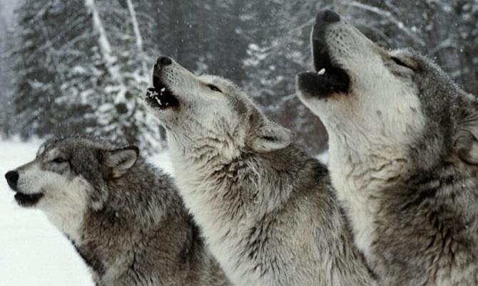 werewolfpack