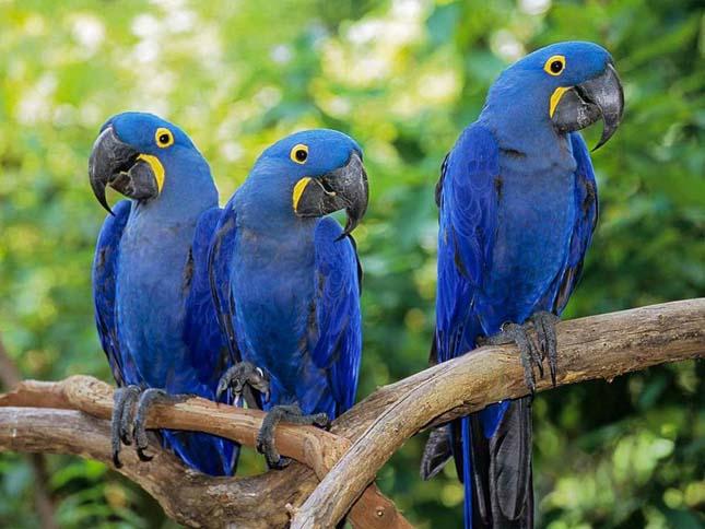 blue spix macaws