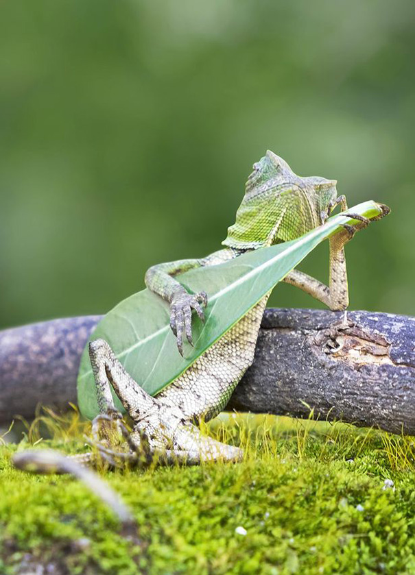 dragon-lizard-playing-leaf-guitar-aditya-permana-indonesia-1