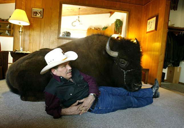 SPRUCE GROVE, ALBERTA - APRIL 5:  Jim Sautner sits and watches TV with his trained buffalo Bailey April 5, 2004 in Spruce Grove, Canada. Bailey is a four-year-old, 1,600-pound buffalo who has been coming into the house and watching TV since birth. Even though Sautner has lost more than $1Million on his buffalo meat business, as a result of a mad cow disease case, he has no plans to slaughter Bailey.  (Photo by Carlo Allegri/Getty Images)