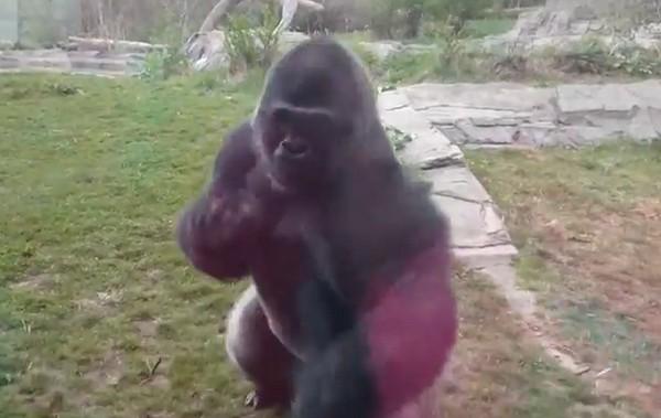 gorillaütés1