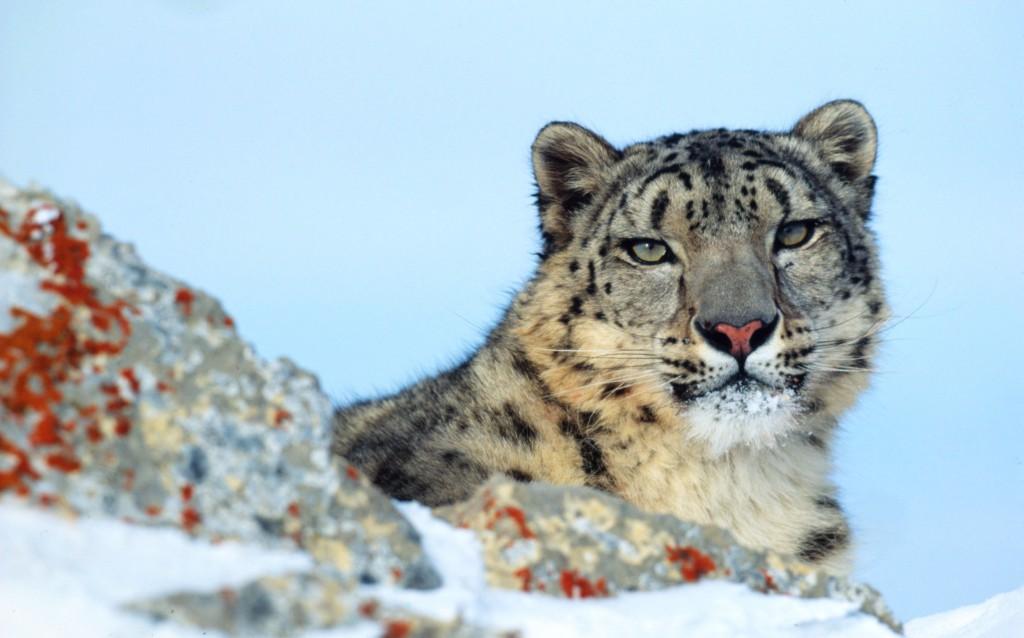 Uncia uncia  Snow leopard