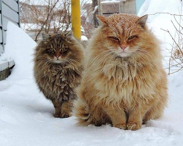 huge-cats-25__605