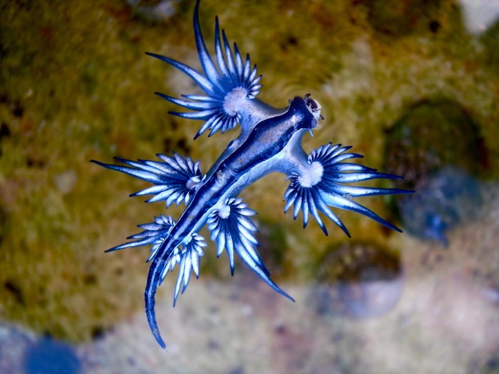 Glaucus-atlanticus