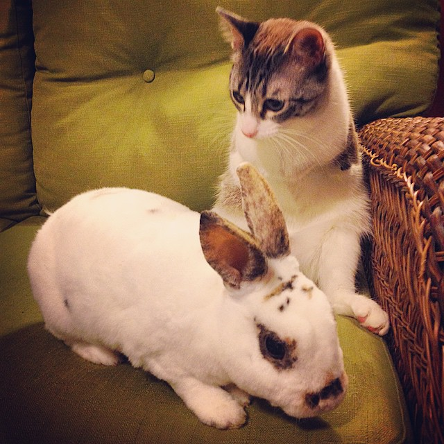adopted-cat-hops-two-legs-instagram-celebrity-roux-3