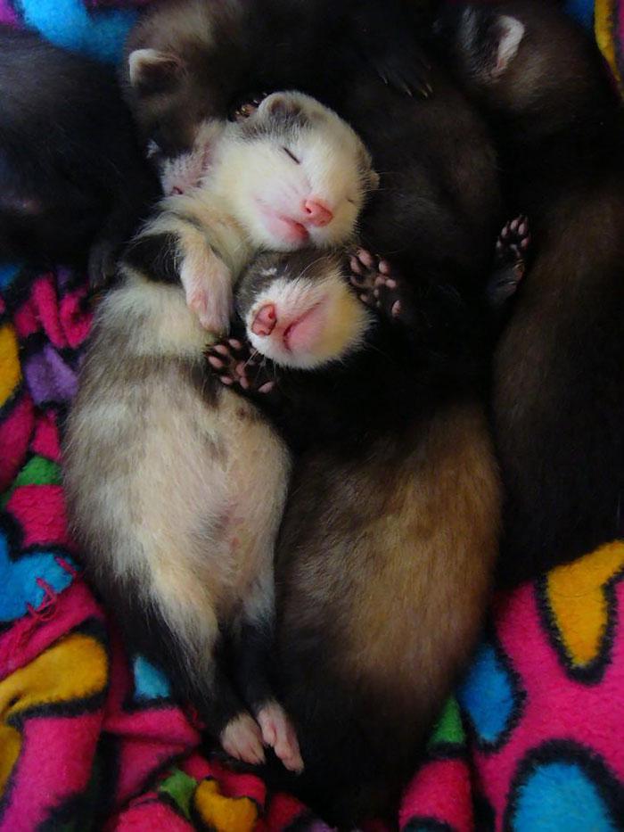 cute-funny-ferrets-29__700