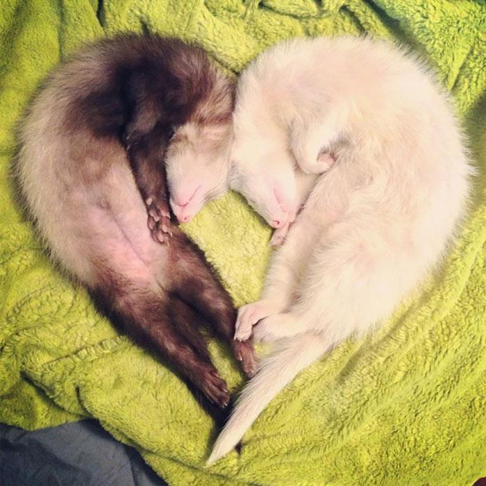 cute-funny-ferrets-5__700