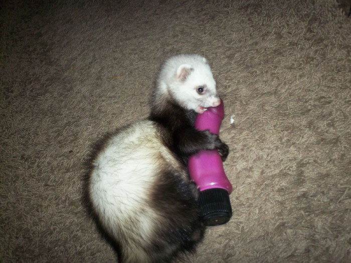 cute-funny-ferrets-6__700