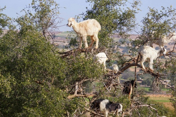 goats-argan-trees-2-208d8