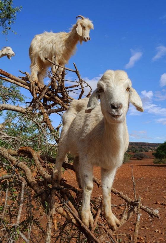 goats-argan-trees-3-6bb37