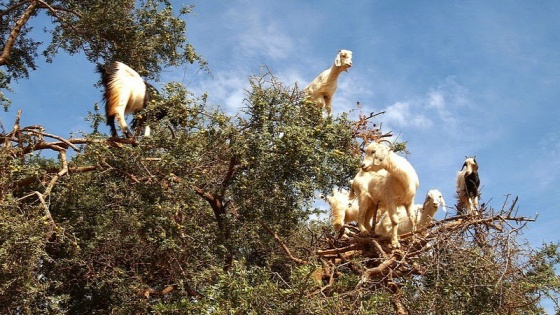 goats-argan-trees-4-24792