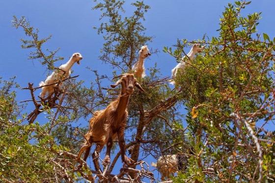 goats-argan-trees-5-6a9d6