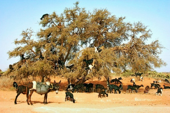 goats-argan-trees-6-287b3