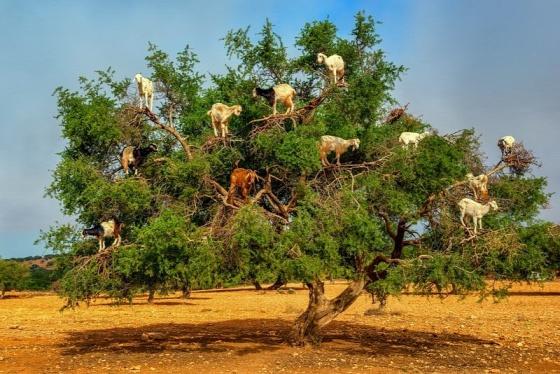goats-argan-trees-7-672b5