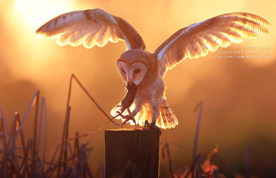 owl-photography-sasi-smit-2