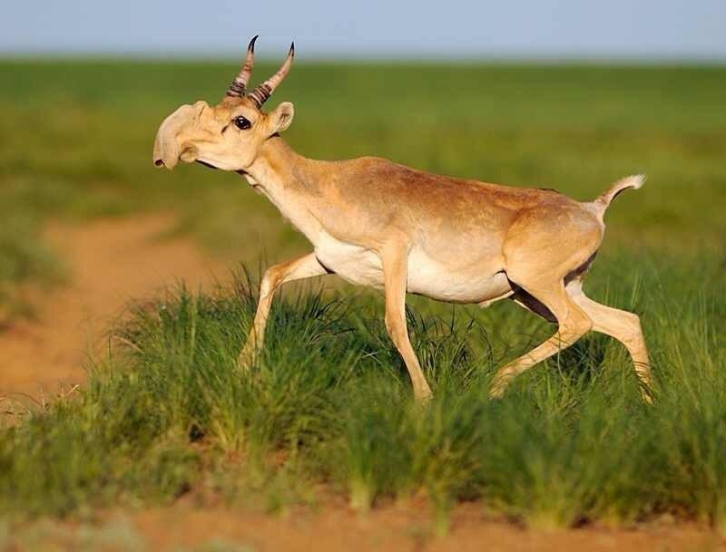saiga-antilop