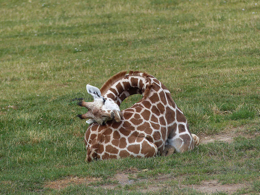 sleeping-giraffes-4__880