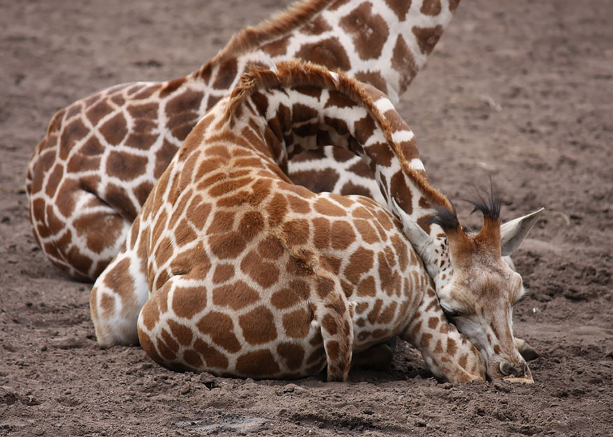 sleeping-giraffes-8__880