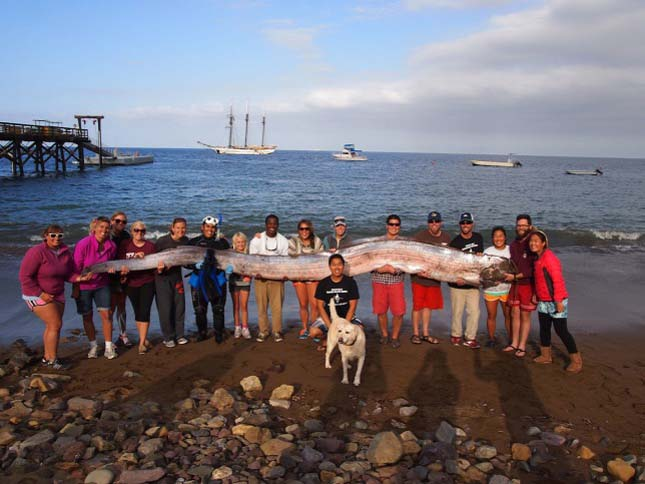 Santa Catalina szigetén találták ezt a partra vetett példányt 2013 októberében. A ritka leletet a helyi tengerkutatási intézetbe szállították preparálás céljából.