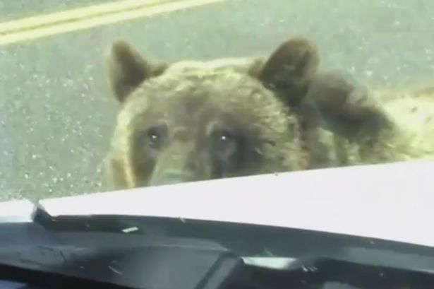 Family-pick-up-unusual-hitchhiker--a-grizzly-bear (1)