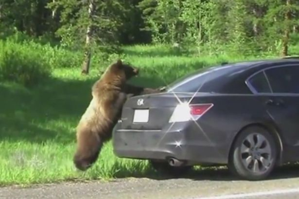 Family-pick-up-unusual-hitchhiker--a-grizzly-bear (2)