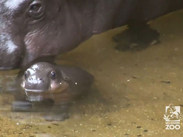 cute-baby-pygmy-hippopotamus-obi-melbourne-zoo-australia-10