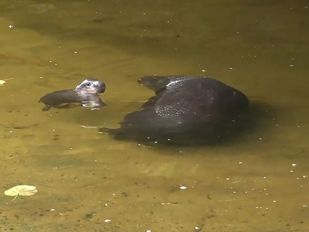 cute-baby-pygmy-hippopotamus-obi-melbourne-zoo-australia-11