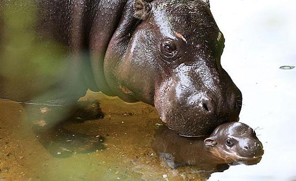 cute-baby-pygmy-hippopotamus-obi-melbourne-zoo-australia-3