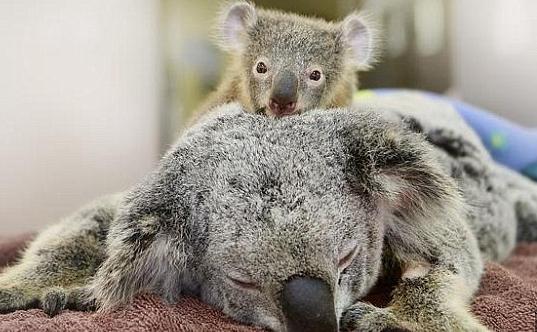 koala(1)