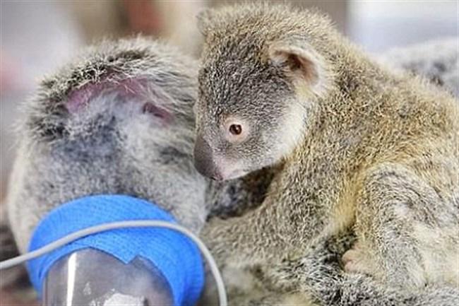 koala(650x433)