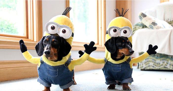minion-weiner-dog-crusoe-dachshund-fb__700