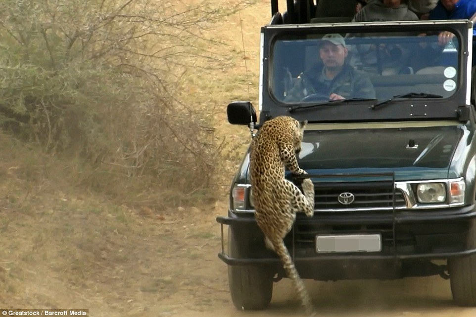 2A32443300000578-3148222-The_leopard_tried_in_vain_to_cling_on_to_the_truck_as_the_guide_-a-33_1435920237247