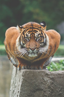Great-push-up-form-tiger.