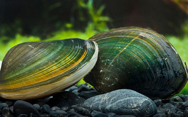 Mussels-green_3362127b