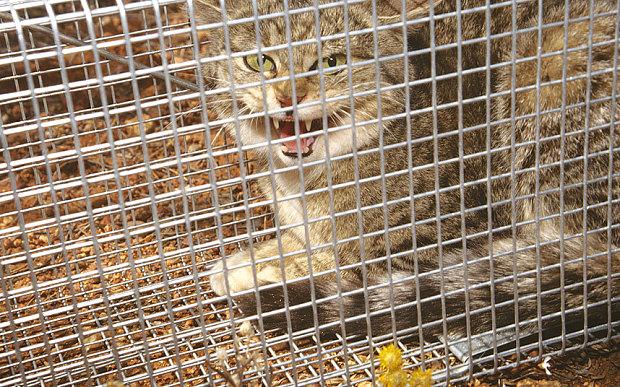 Oz_feral_cat_3377535b