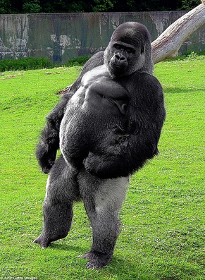 This-gorilla-has-been-working-out