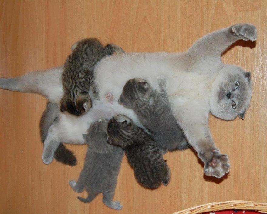 breastfeeding-cat-mother-kittens-overwhelmed-1