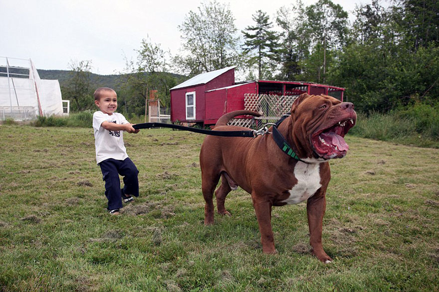 hulk-pitbull-largest-puppies-4